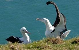 Albatross Colony