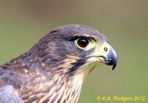 New Zealand Falcon / Karearea