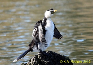 Little Shag / Kawaupaka