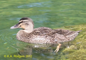 Grey Duck-Mallard cross