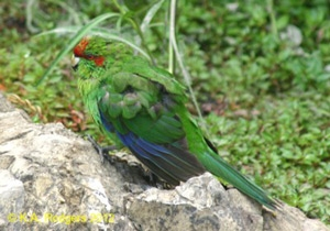Red-Crowned / Yellow-Crowned Parakeet / Kakariki