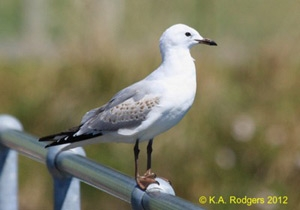 Red-billed Gull / Tarapunga