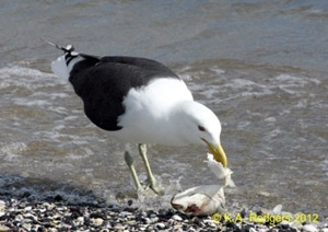 Black-Backed Gull / Karoro