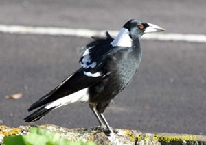 Black-Backed Australian Magpie