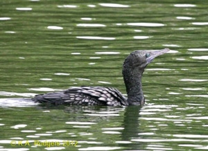 Little Black Shag