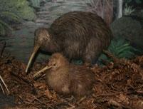 otorohanga-kiwi