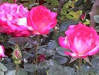 rose-gardens