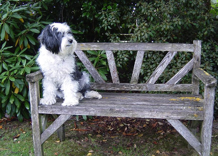 Barney the Tibetan terrier