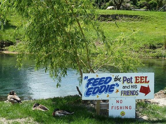 Eddie the eel