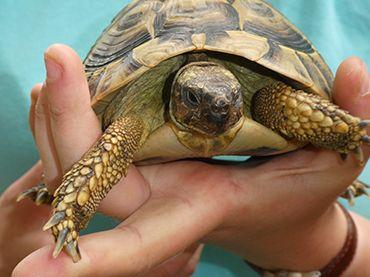 Tobias Tortoise