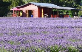 enjoy beautiful views of lavender fields