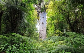Fuller's Greatsights - Hokianga Day Tour Including Tane Mahuta