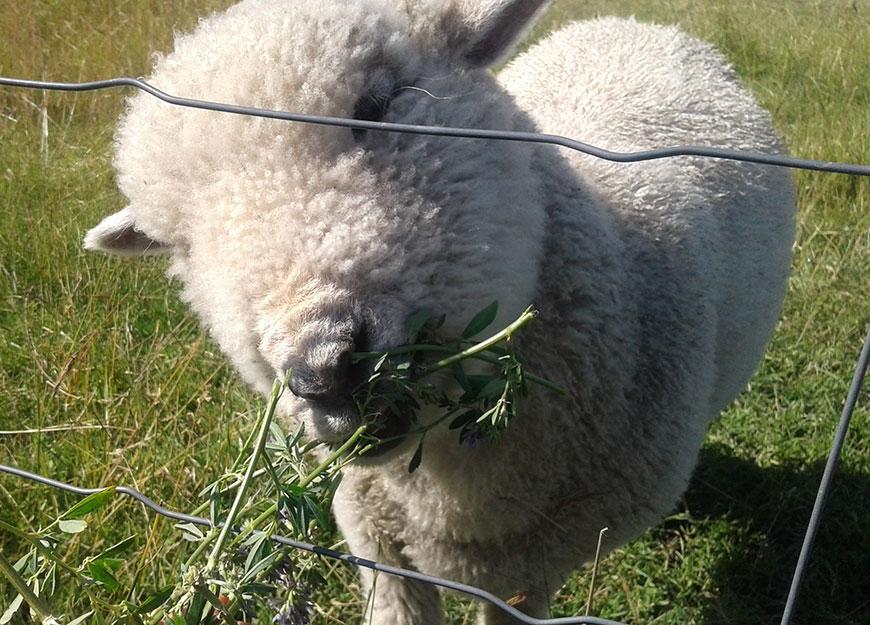 lambs at Waipiata